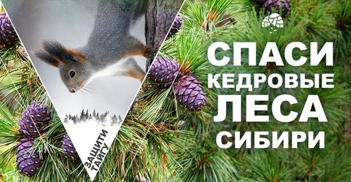 Петиция Greenpeace: Спасите кедровые леса