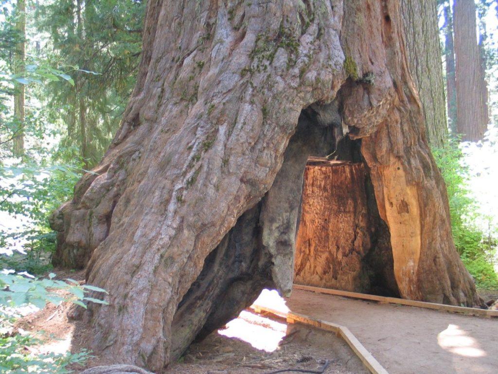 Последняя тысячелетняя секвойя с тоннелем в стволе упала в Калифорнии